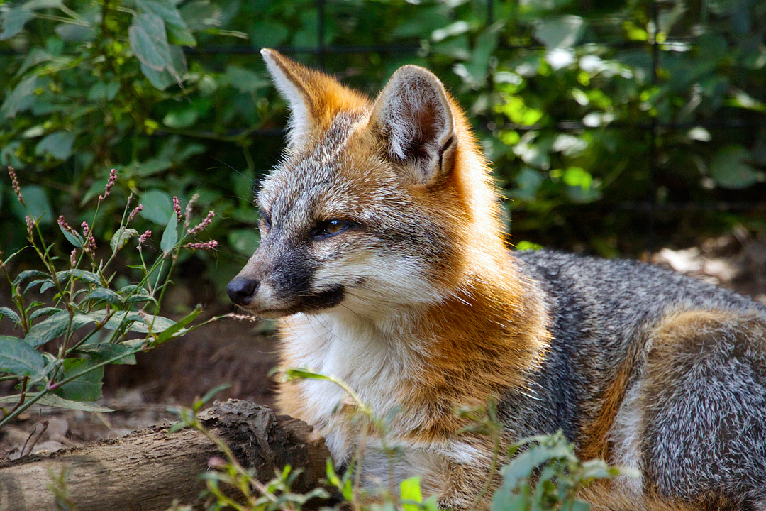 Gray Fox   Connecticut's Beardsley Zoo