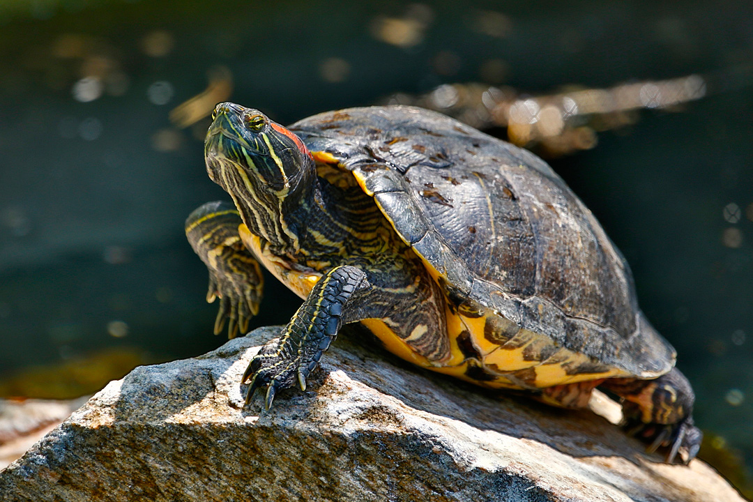Red Ear Slider Turtle Mating Rituals - Best Picture Turtle 2017