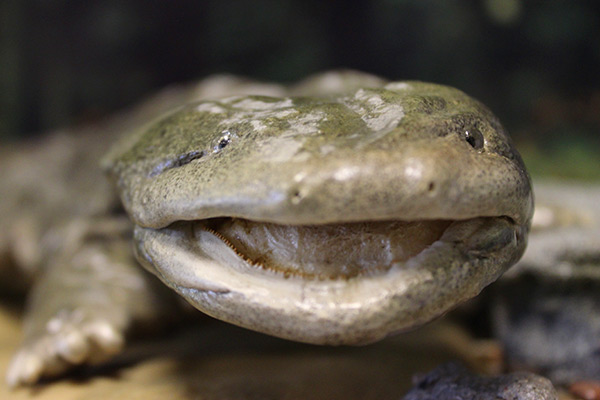 Eastern Hellbender | Connecticut's Beardsley Zoo