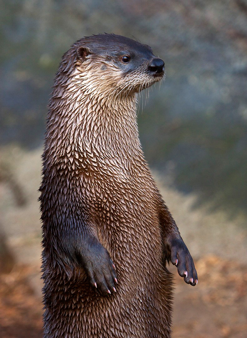 river otter The river otter is minnesota's largest aquatic carnivore that lives in most northern minnesota lakes, ponds, and streams it can swim and maneuver better than many.
