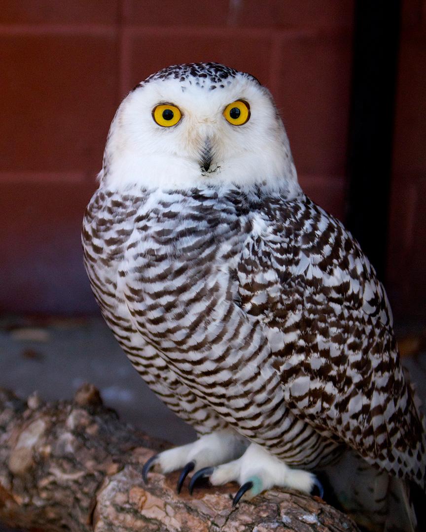 Snowy Owl Connecticut S Beardsley Zoo