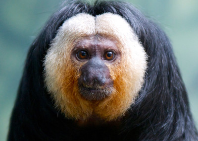Pale-Faced Saki Monkey