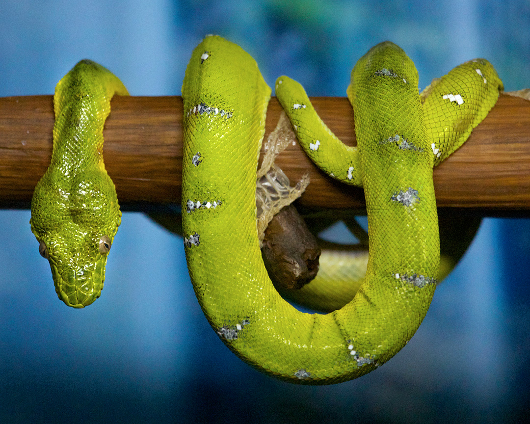 Emerald Tree Boa | Connecticut\'s Beardsley Zoo