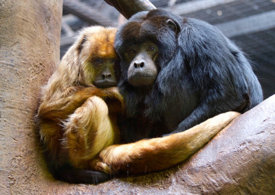 Black and Gold Howler Monkeys