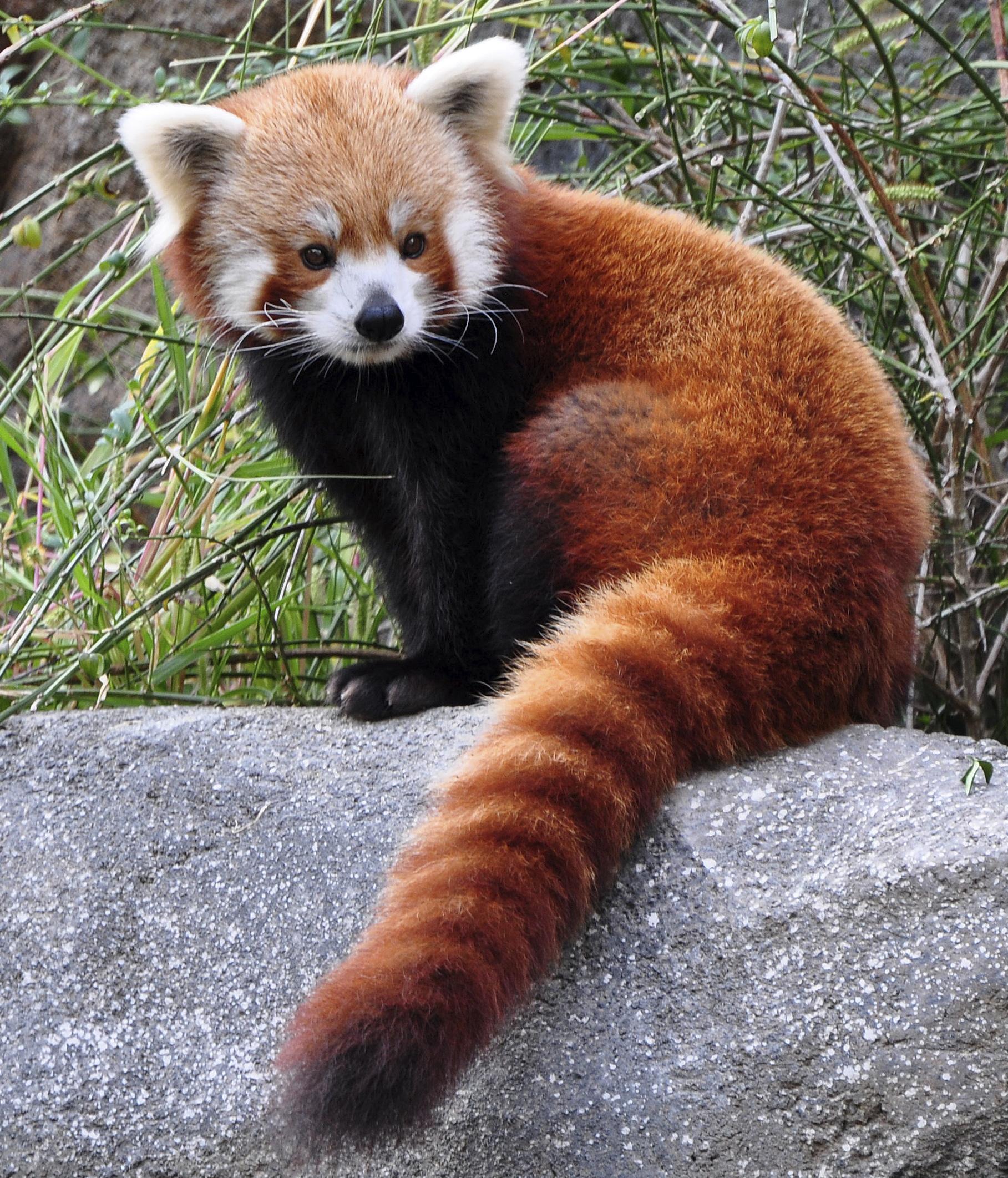 """Vaizdo rezultatas pagal užklausą """"red panda"""""""