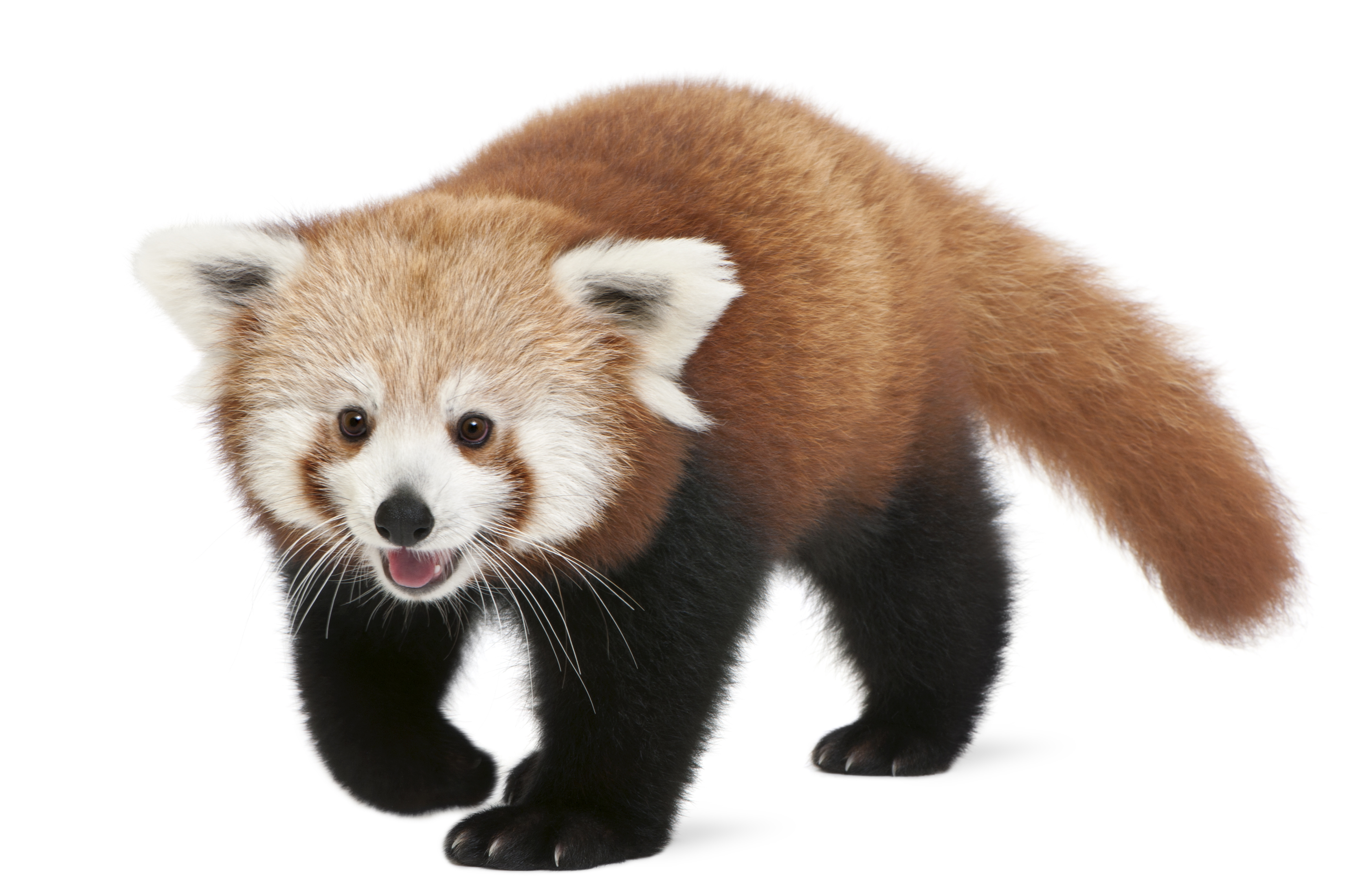 Red Panda | Connecticut's Beardsley Zoo