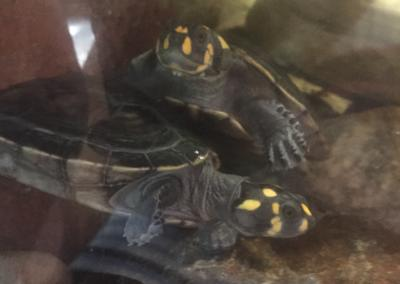 Yellow Spotted Amazon River Turtle